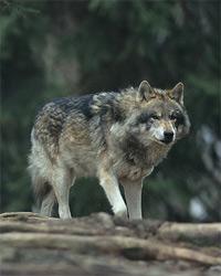 Vlk - Dažbogovo zvíře
